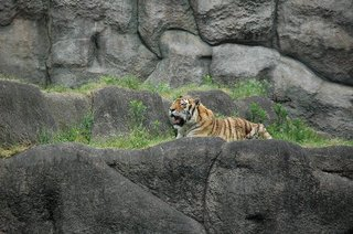 トラがあくびをしていました