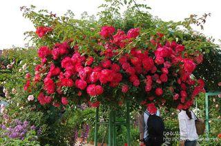 モネの薔薇