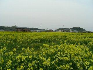 菜の花畑4