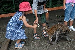 ちびちゃん、ワラビーに餌を与える