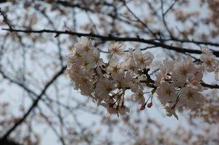 動物園の桜アップ