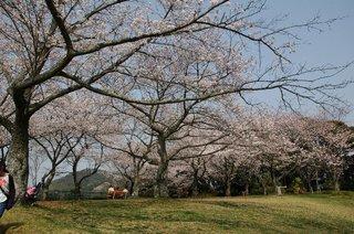 動物園の桜