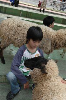 羊と戯れる小僧